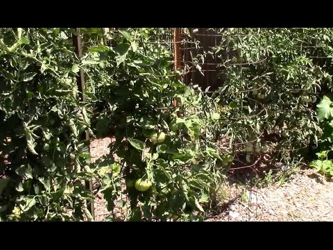 , title : 'Growing Tomatoes in Hot Weather. 3 Ways to Get More Tomatoes in the Heat.'