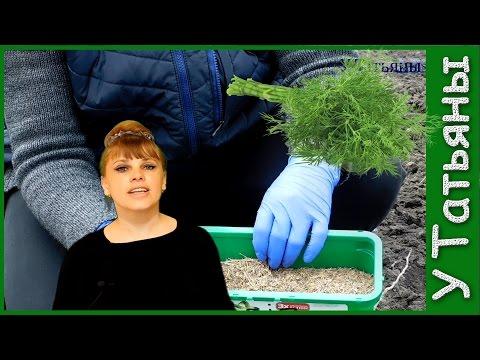 УКРОП. Тонкости выращивания укропа. Как сеять укроп в открытый грунт.