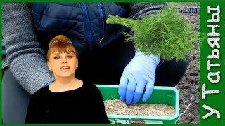 Как сеять укроп в открытый грунт видео