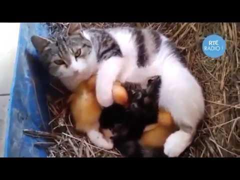 Мама-кошка и утята
