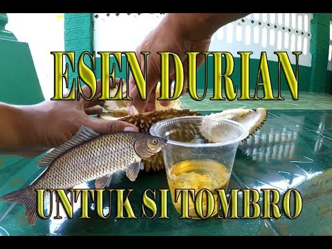 Cara Jitu Membuat Essen Durian Untuk Ikan Mas Tombro Dan Ikan Nila Yang Fantastis Kaskus