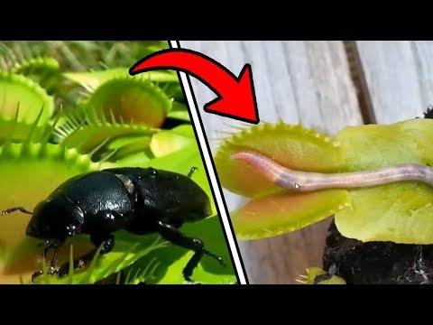 Il catrame di betulla come bere a parassiti