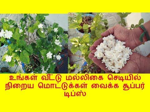 உங்கள் வீட்டு மல்லிகை செடியில் நிறைய பூக்கள் பூக்க இந்த டிப்ஸ்  போதும்  | gardening tips for jasmine