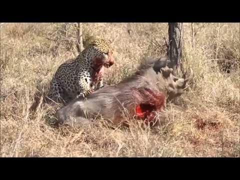 leopard eats live warthog