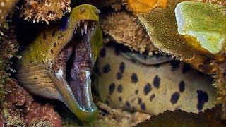 Moray Eel VS A Shark And An Octopus