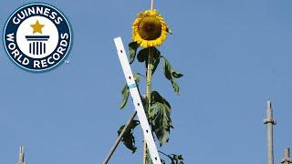 Größte Sonnenblume der Welt