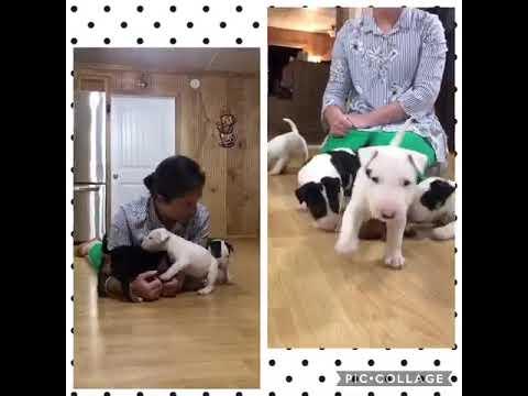 AKC Bull Terrier Male Skip Bo