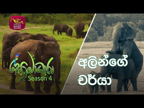 Sobadhara - Sri Lanka Wildlife Documentary | 2020-09-11 | Elephant's behaviour (අලින්ගේ චර්යා)