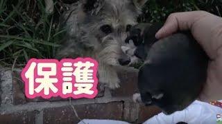 【感動実話】人間を信頼していたホームレスの母犬は、子犬が救助されるのを辛抱強く待っていた