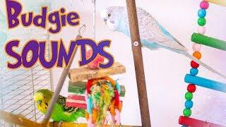 Alen AxP - Budgie sounds | Parakeet sounds | Singing flock