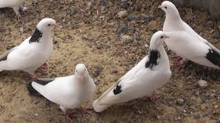 Сравнение долго-летных и мало-летных голубей 2 часть.