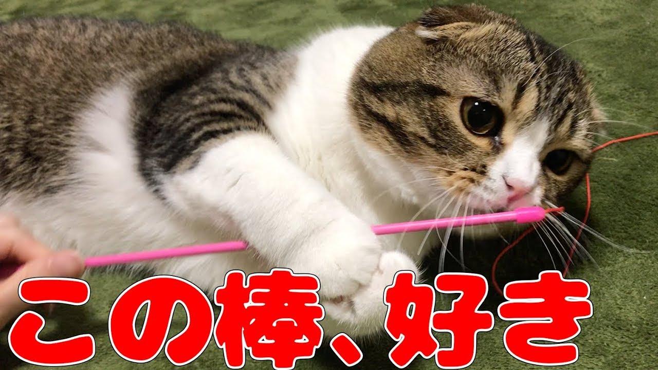 棒が大好きな猫【スコティッシュフォールド】【Scottish Fold】