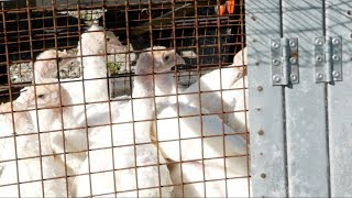 Want To Raise Pastured Turkey?? - Watch This First!!