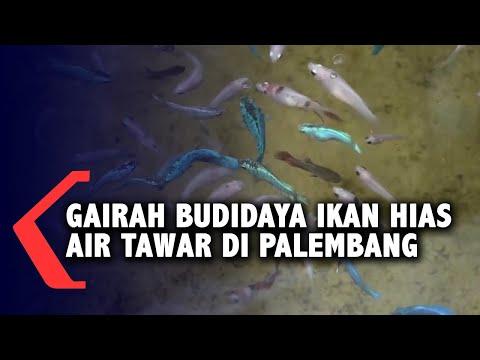 gairah budidaya ikan hias air tawar di palembang