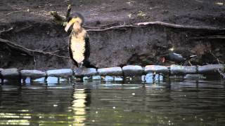 preview picture of video 'Cormorant at Coronation Park, Ormskirk - 15th March 2013'