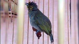 Burung Merbah Lekir Gacor Pengicau Garang Bersuara Keras