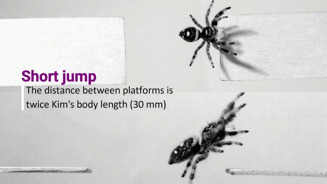 Cuanto puede saltar una araña?