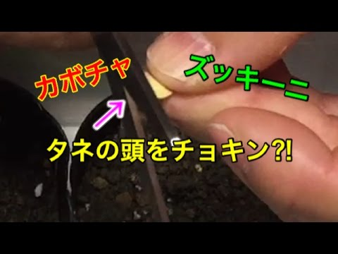 , title : '【家庭菜園】カボチャ・ズッキーニの種まきに使える チョッキンまき⁈