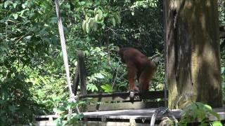 Orangutang Rehabilitering - Borneo