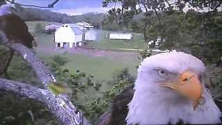 Decorah Eagle Update, Decorah, Iowa
