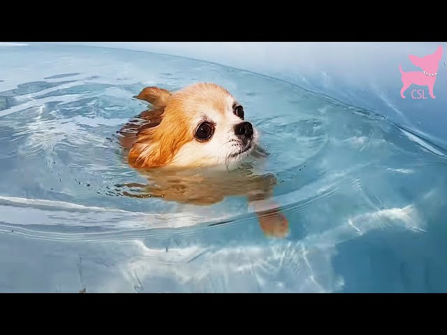 Cute Chihuahua Swimming