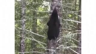 Почему не надо лезть на дерево от медведя