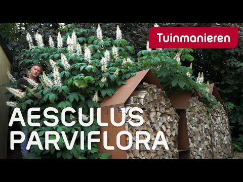 De Aesculus parviflora, de kastanje in struikvorm