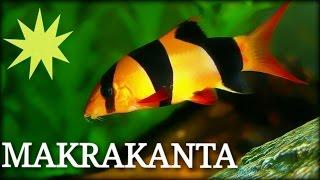Balık Türleri: Makrakanta (Clown Loach)