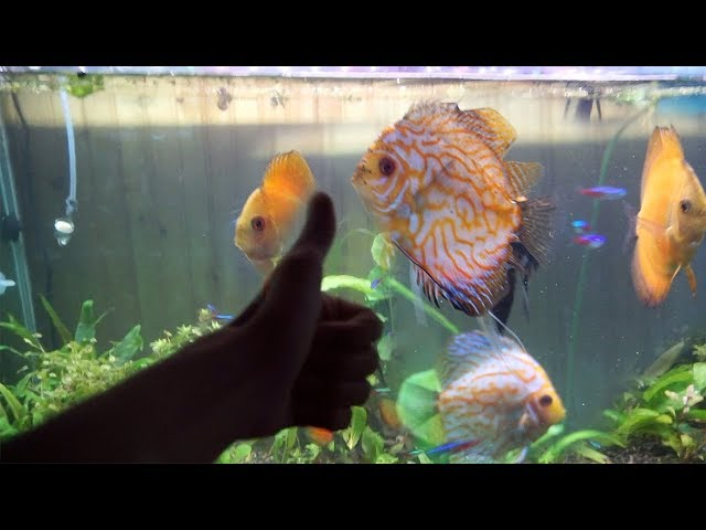 FEEDING MY DISCUS FISH!!