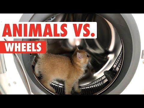 סרטון מצחיק של בעלי חיים שלא מסתדרים היטב על גלגל המשחק