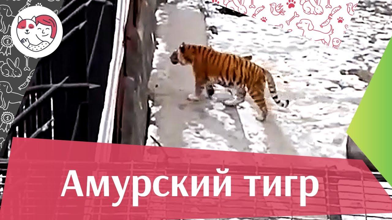 Амурский тигр Поведение и питание на ilikepet