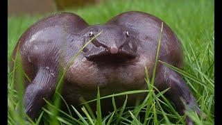 Purple Frog (Nasikabatrachus sahyadrensis)