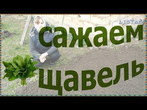 Как посадить выращивать щавель посев семян щавеля щавель сажаем выращивание уход посадка