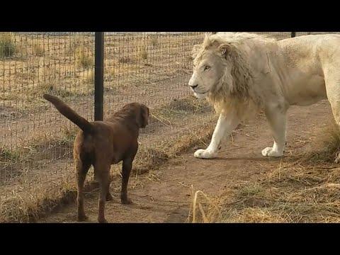 """Благородный белый лев """"поцеловал"""" собаке лапку"""