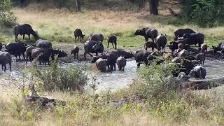 Djuma: Buffalo herd arrives along with two Slender Mongoose towards end - 13:24 - 06/04/20