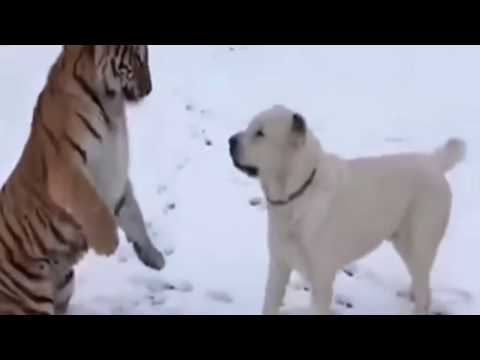 Tiger Vs Kangal