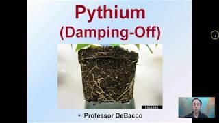 Pythium (Damping Off)