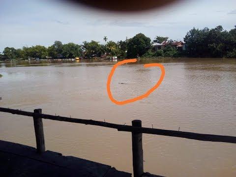 Heboh Kemunculan Buaya di Sungai Siak Kota Pekanbaru