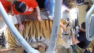 LIVE: Tiger at Big Cat Rescue Gets Medical Exam | The Dodo