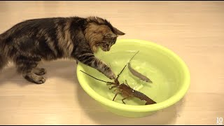 Japanese spiny lobster vs Cat  猫vs伊勢海老 - Video Youtube