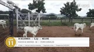 36 BEZERROS NELORE