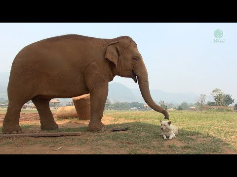 The friendships of elephant and dogs