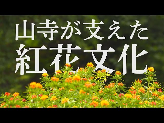 日本遺産「山寺と紅花」