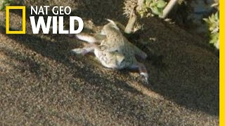 Snake v. Lizard: A Desert Showdown   Nat Geo Wild