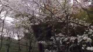桜花見穴場スポット〜湯之元球場裏の桜公園鹿児島県日置市