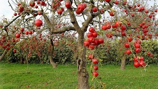 Fruit Trees Will Produce 10 Times More Fruits If You Do This