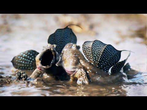 Lezci: Ryby, které chodí po zemi