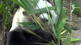Video : China : A panda in Hong Kong 香港