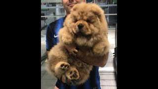 Chow Chow Puppy Goes To Kmart For The First Time In Melbourne