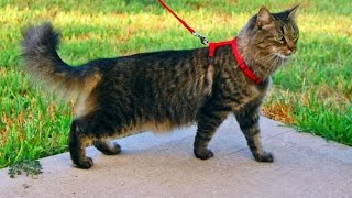 4 Tips To Get Your Cat to Go on a Walk With You